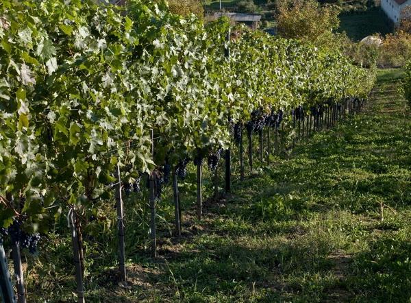 vinski put, vinarija